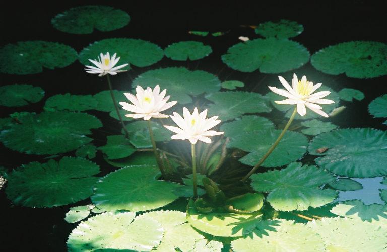 alam.lotus.jpg